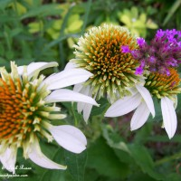 Photo Thumbnail #11: Echinacea White Swan and Verbena - To see more,...