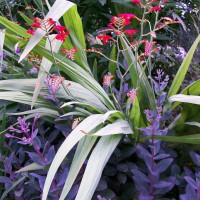 Photo Thumbnail #10: Crocosmia Lucifer & Sedum Vera Jamison - To see...
