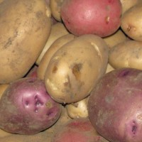 Photo Thumbnail #4: This is our first harvest of potatoes