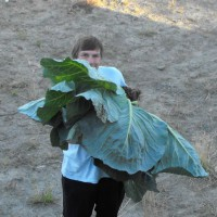 Photo Thumbnail #5: 35 pound cabbage
