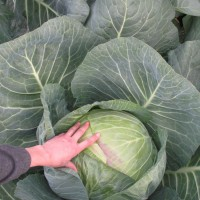 Photo Thumbnail #7: First big cabbage