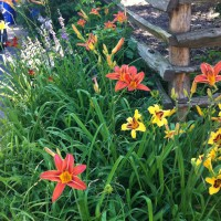 Photo Thumbnail #5: Daylilies continue to find new homes in our...