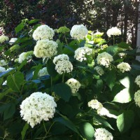 Photo Thumbnail #4: Annabelle Hydrangeas by our front porch add...