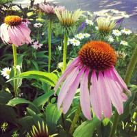 Photo Thumbnail #2: Coneflowers and daisies grow happily in a...