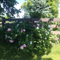 Photo Thumbnail #8: Wild roses that I planted and they are...