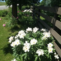 Photo Thumbnail #3: North side from road closeup of peonies