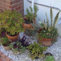 Photo Thumbnail #1: These are my potted succulents which I plan to...