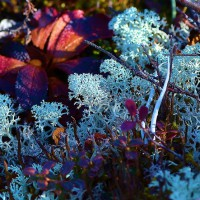Photo Thumbnail #10: Tundra bloom closeup