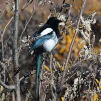 Photo Thumbnail #18: Magpie