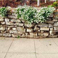 Photo Thumbnail #27: This alyssum just showed up!  It made the...