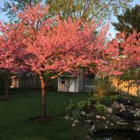 Photo Thumbnail #18: Redbud tree