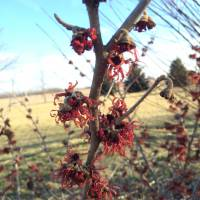 Photo Thumbnail #4: Hamamelis x intermedia 'Jelena' taken in Mid...