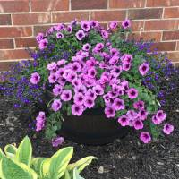 Photo Thumbnail #1: Supertunia Bordeaux is one of my favorite...