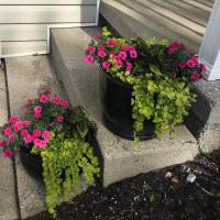 Photo Thumbnail #2: Some creeping Jenny, Coleus, and superbells in...
