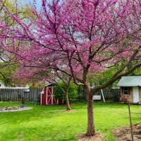 Photo Thumbnail #8: Spring Redbud