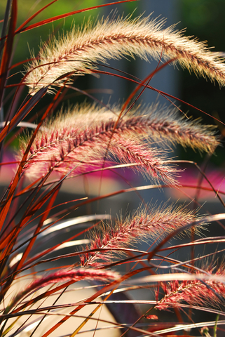 Grasses are illuminated by sunlight