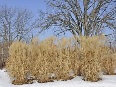 Ornamental grasses in winter