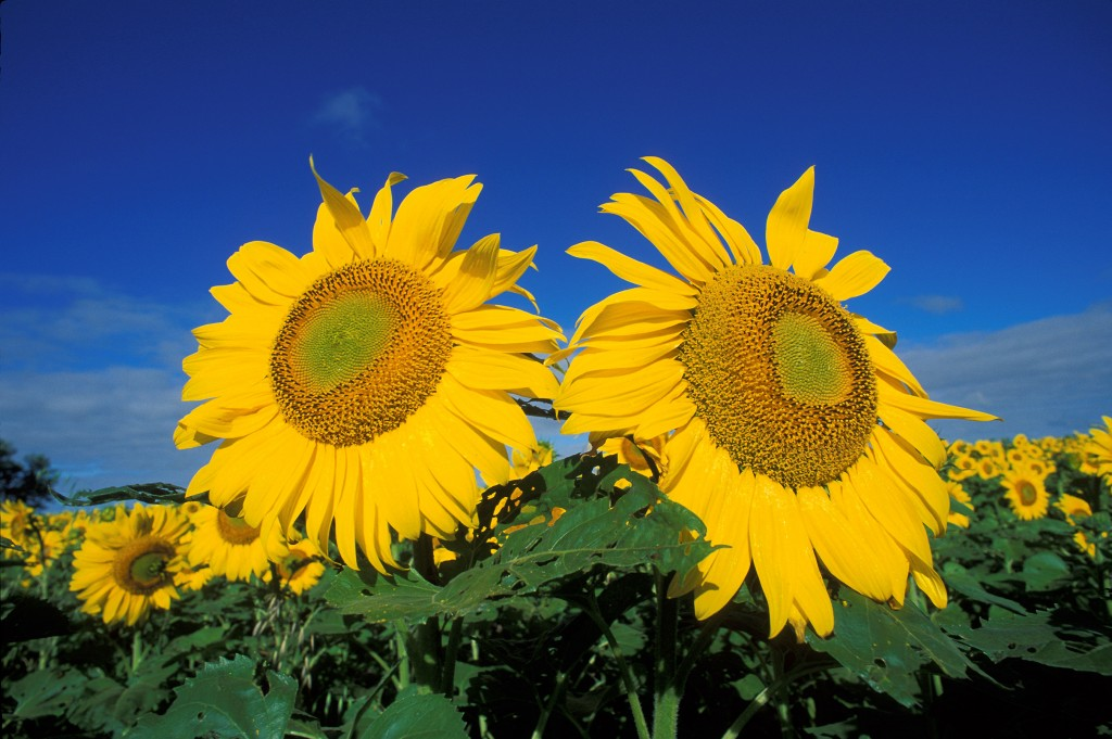 Sunflower Gardens