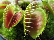 Carnivorous Plants - Venus Fly Trap