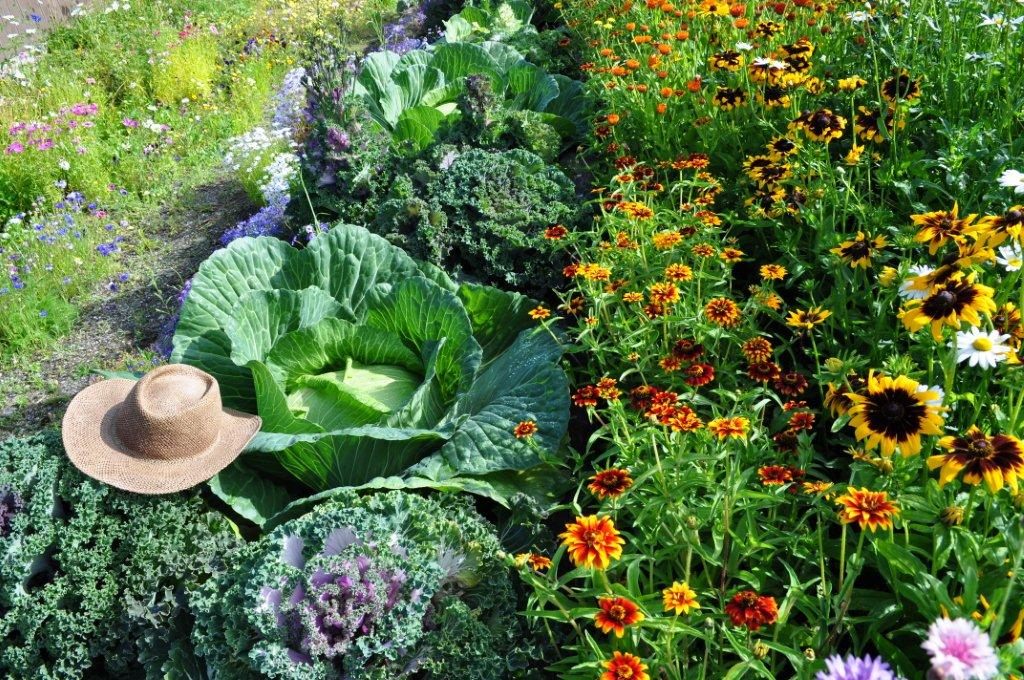 Growing Your Giant Cabbage