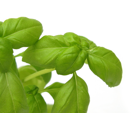 Herb Garden - Basil