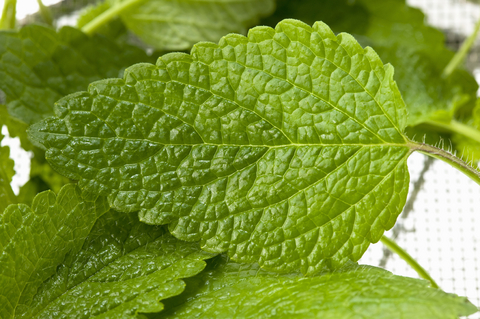 Herb Garden - Lemon Balm