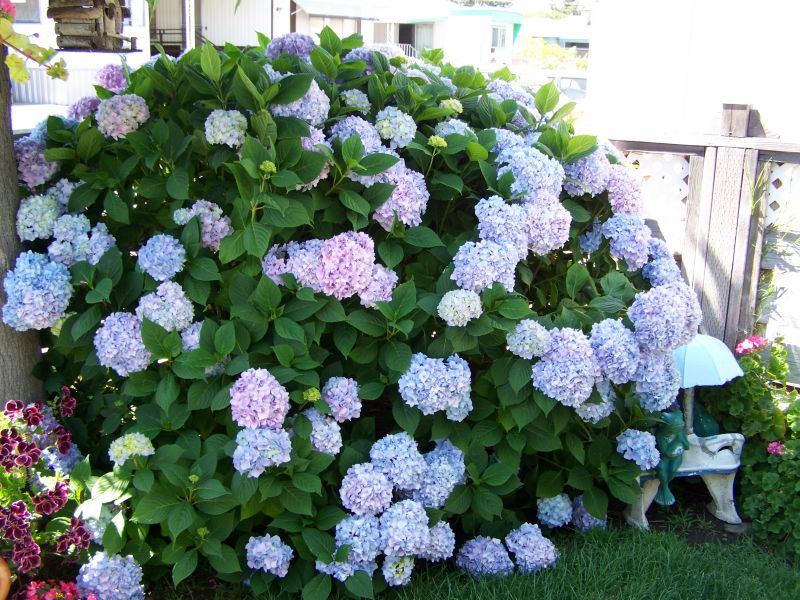 Hydrangeas in your garden