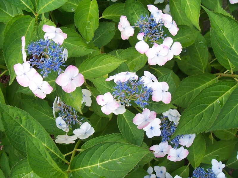 Lacecap hydrangeas in your garden