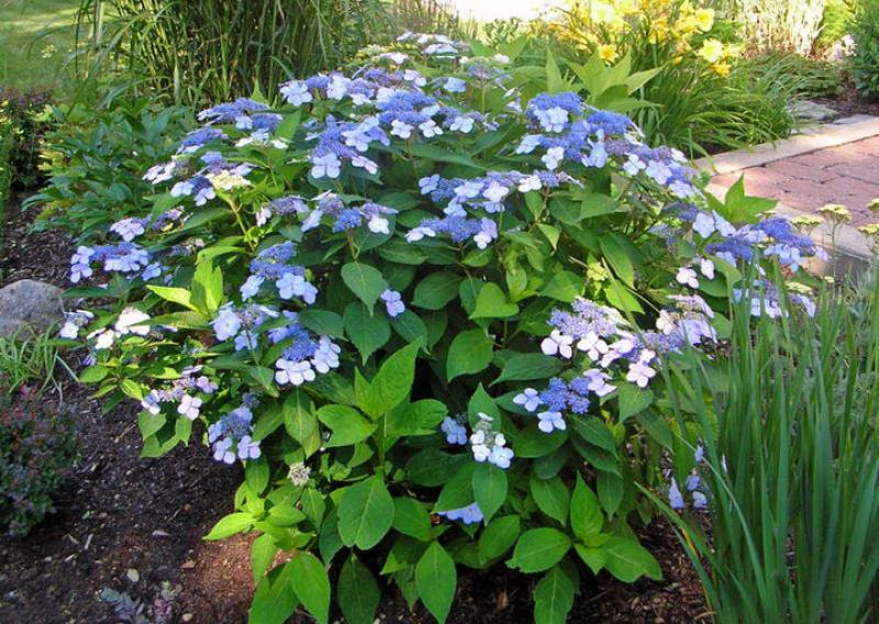 Blue Lacecap Hydrangea