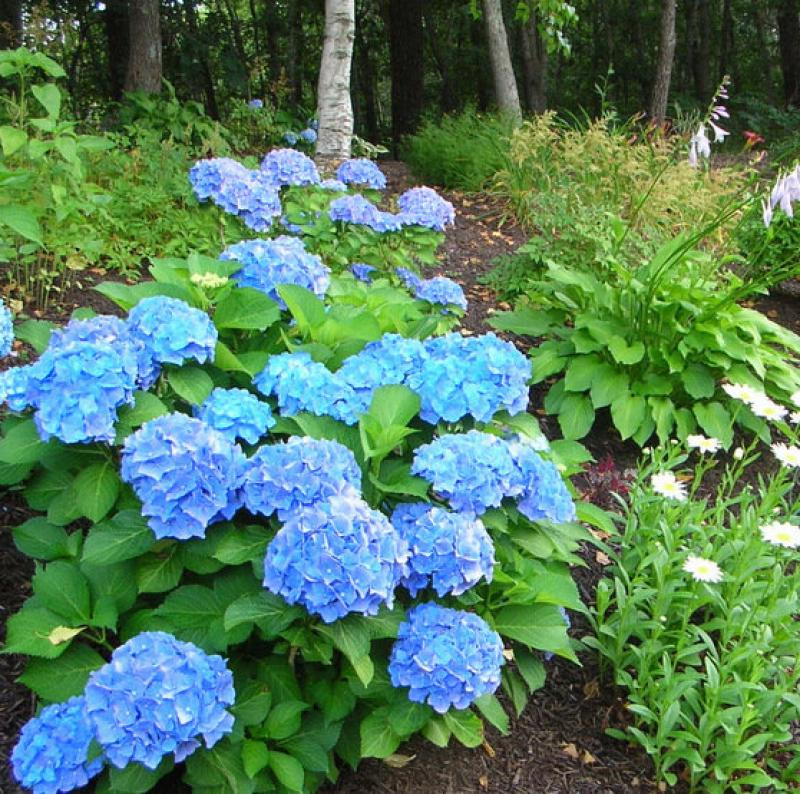 French Hydrangeas in your garden