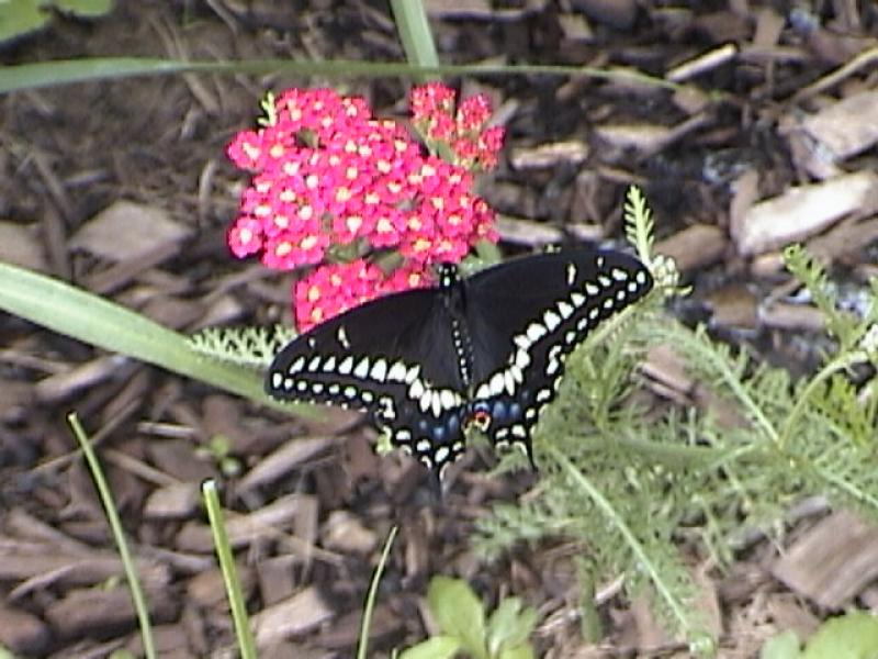 Gardens Attract Butterflys