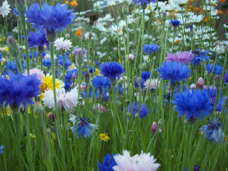 Cornflowers in a cutting garden
