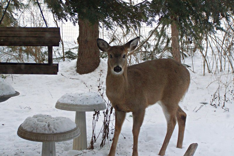 Winter Berries Attract Deer