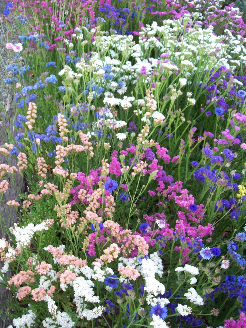 Everlasting Flowers in a Cutting Garden