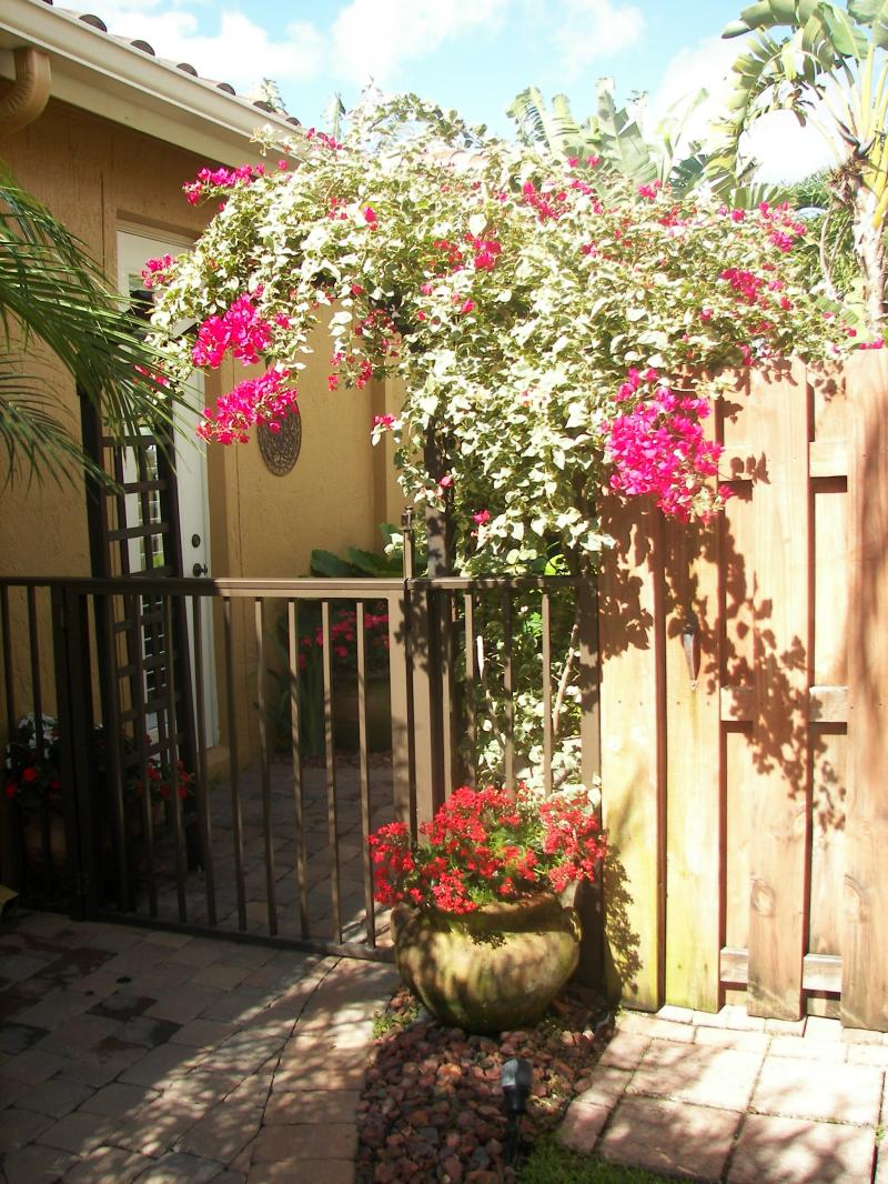Bougainvillea Adds color to a fence