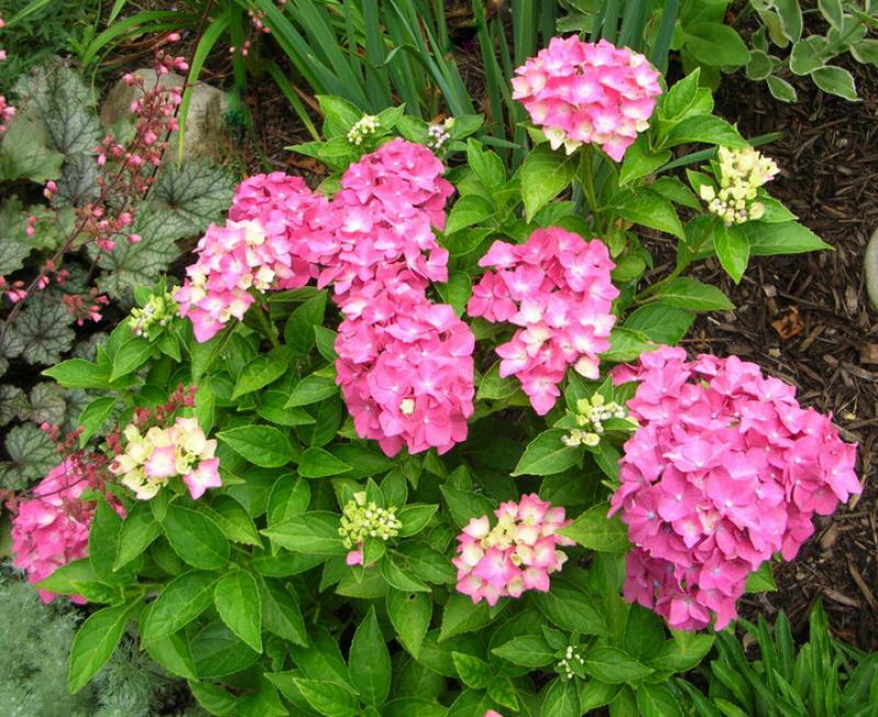 Macrophylla hydrangeas in your garden
