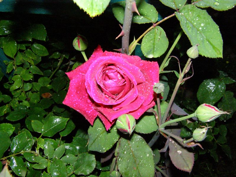 Beautiful Roses in Your Yard