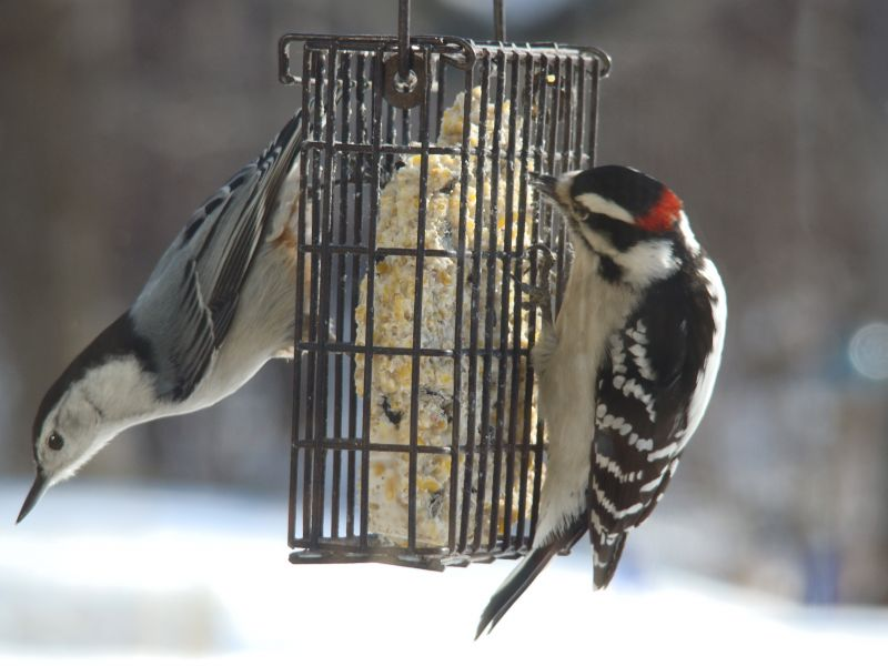 Nuthatch and Downy Woodpecker