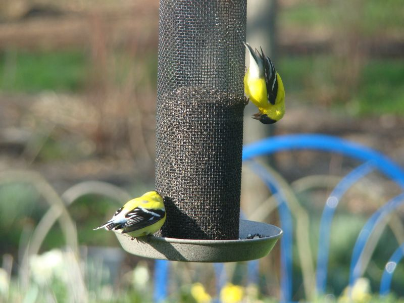 Goldfinch enjoy their treat.