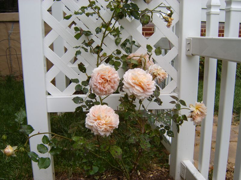 Tips for growing old roses