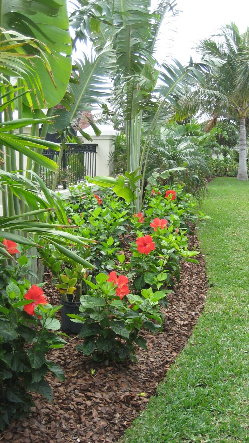 Growing Tropical Hibiscus