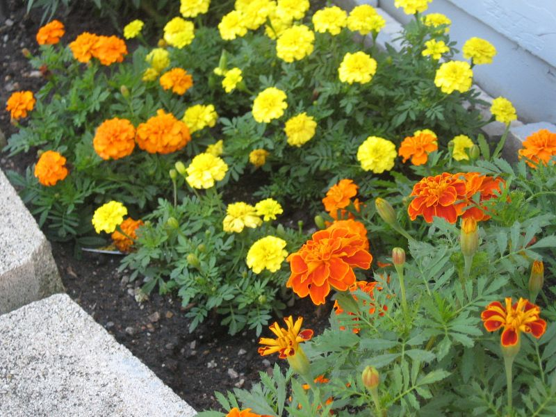 Marigolds Go With Many Flowers