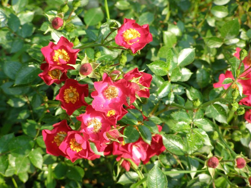 Old Roses - Rose Garden Ideas